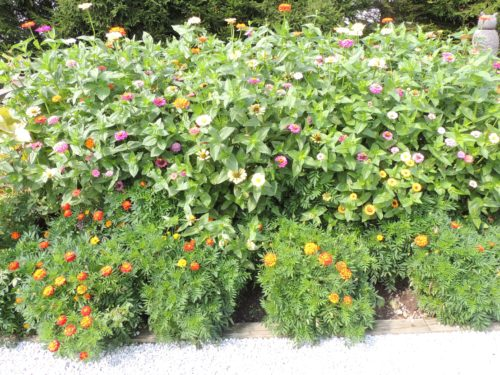 Zinnias and Marigolds | manningthewall.com