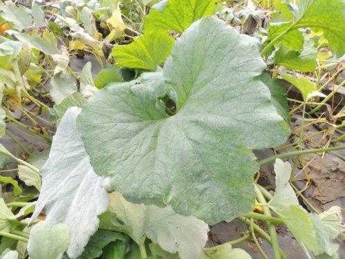 Zucchini Leaf | manningthewall.com