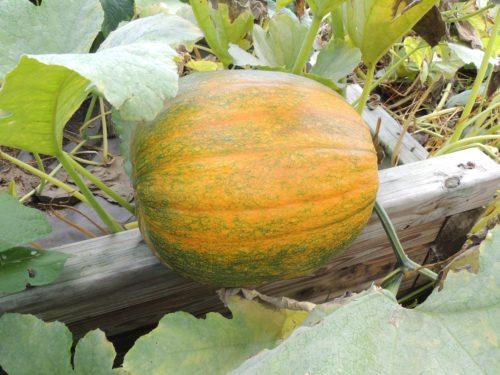 Ripening Pumpkin | manningthewall.com