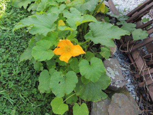 Wild Pumpkin Flower | manningthewall.com