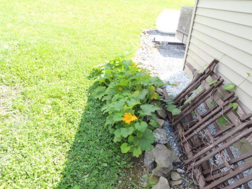 Wild Pumpkin Plant