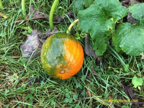 Wild Pumpkin | manningthewall.com
